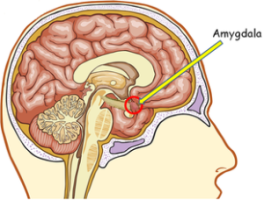 amygdala1-300x228